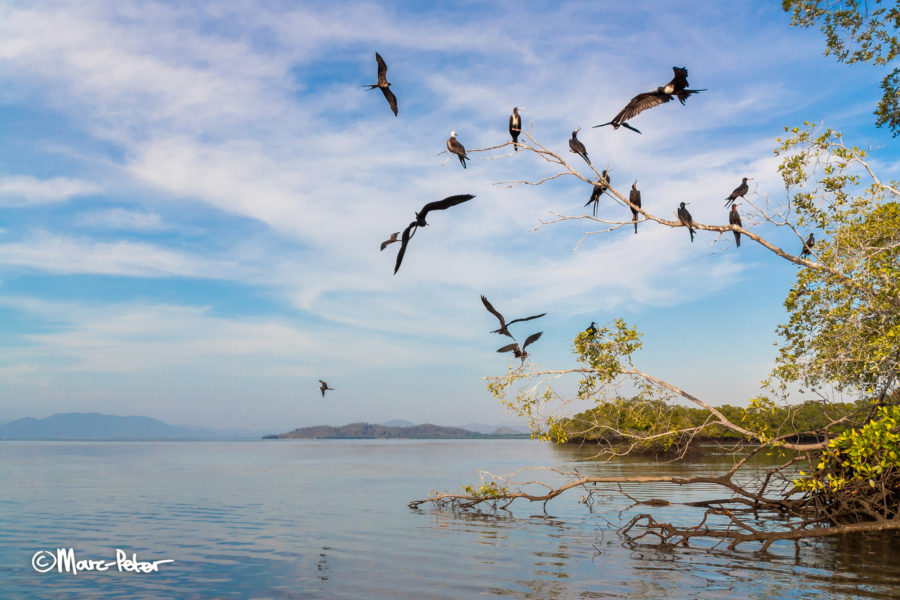 Magnificent Frigate Birds at the mangroves