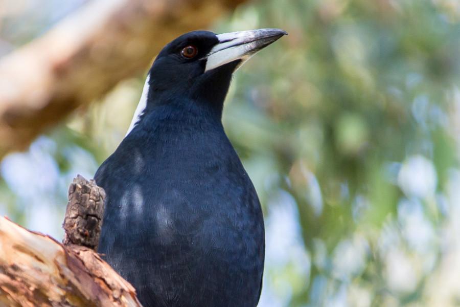 Australian Magpie mugshot
