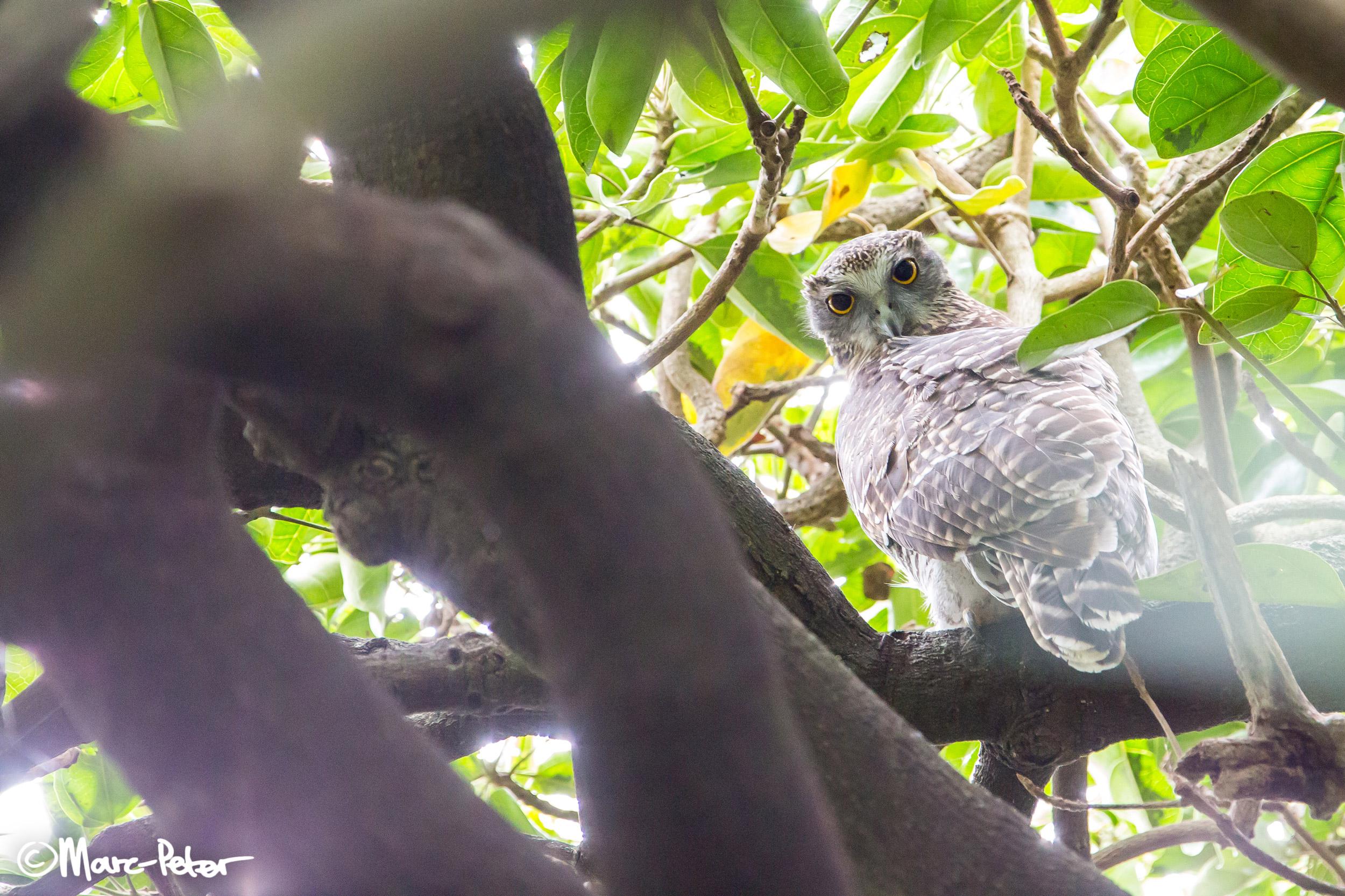 Powerful Owl in hiding