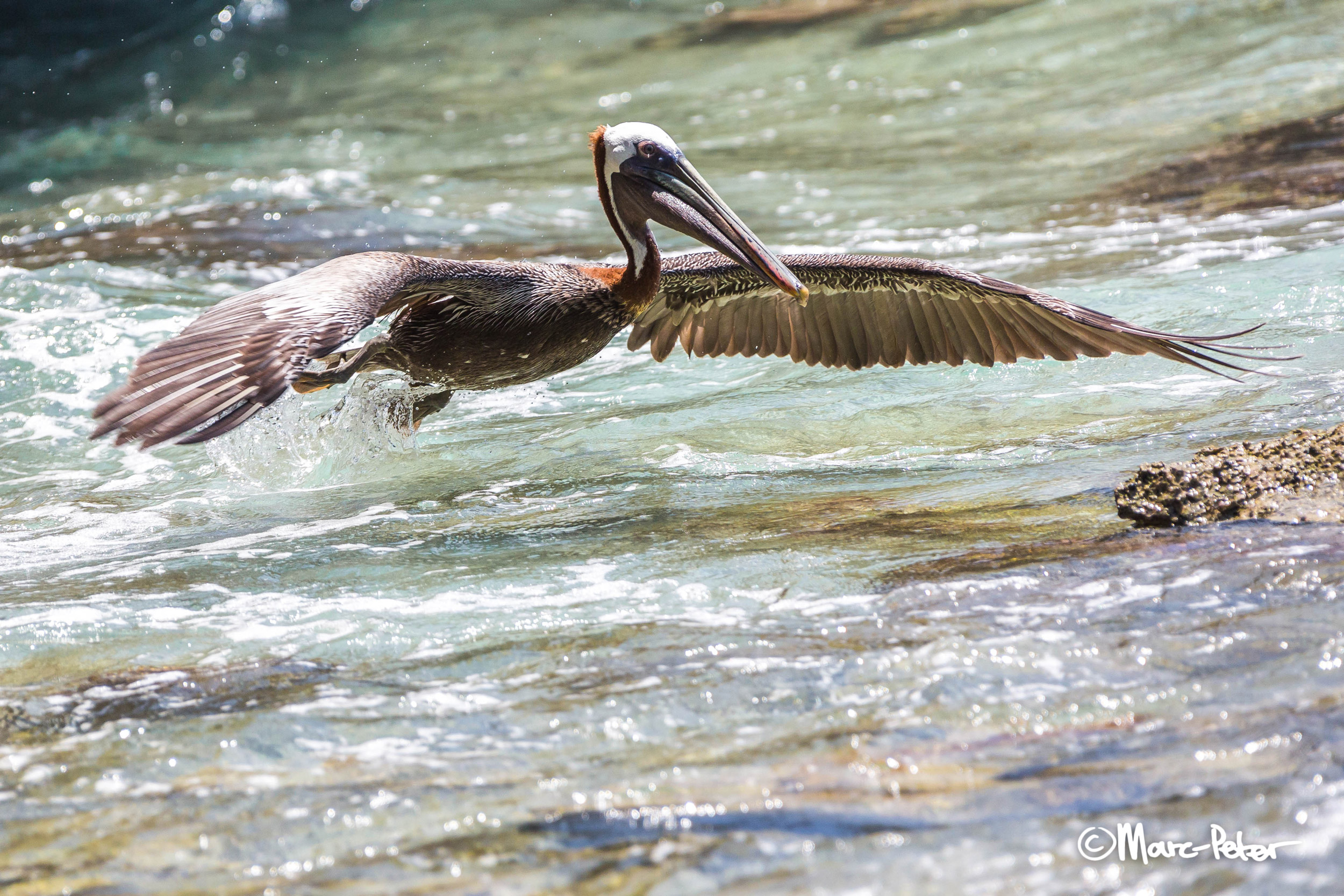 Brown Pelican flying low