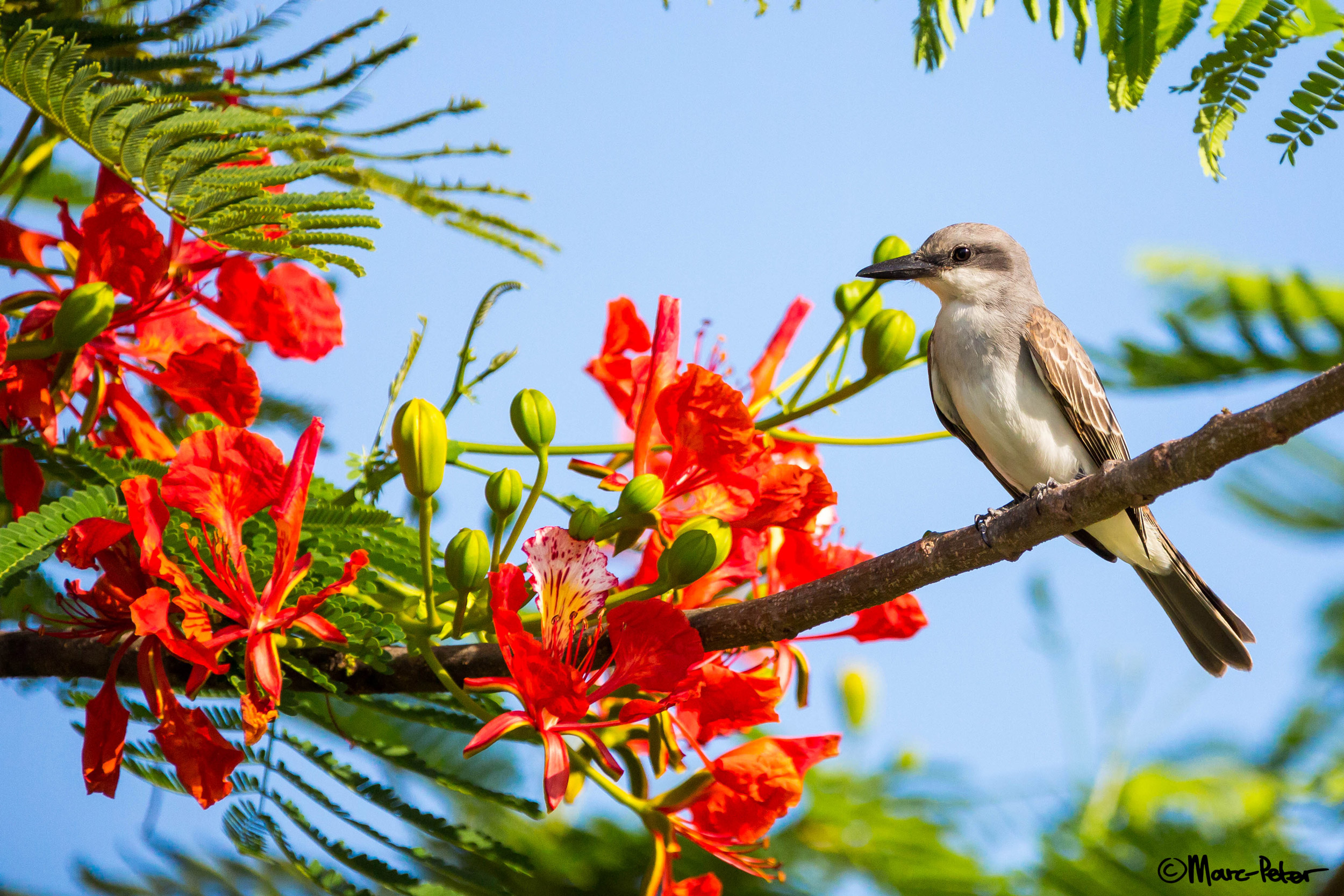 Dull Kingbird with colourful flowers