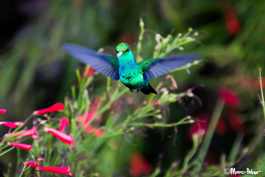 Blue Emerald Hummingbird iridescence