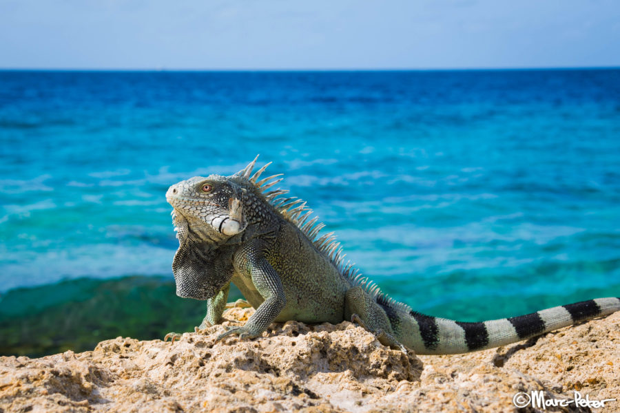 Green Iguana at the beach, Curacao