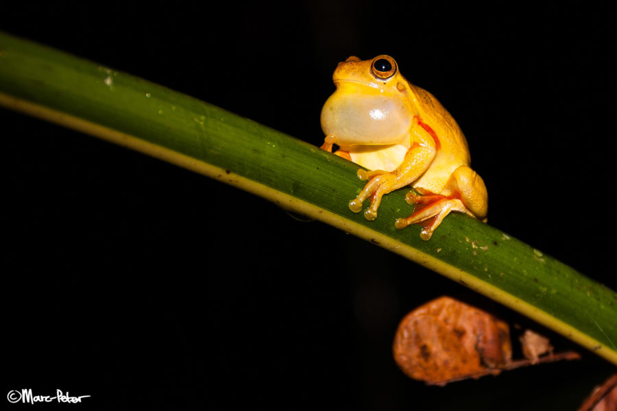 Yellow Treefrog in Arenal, Costa Rica