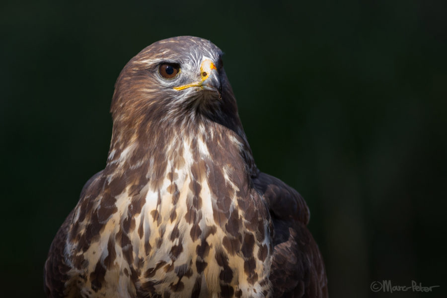 Buzzard portrait
