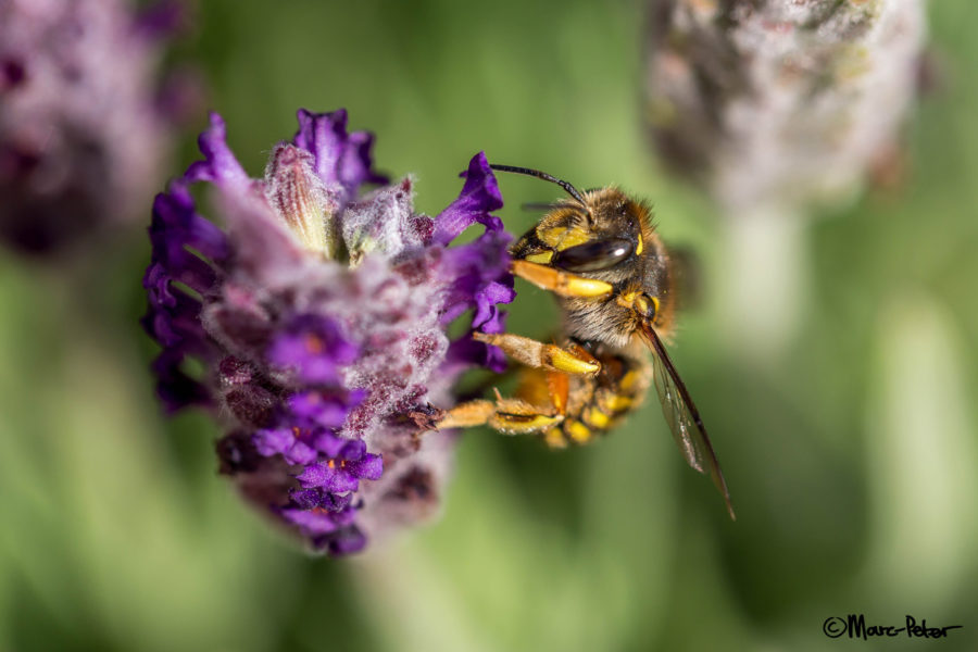 Baby Wasp on Lavender