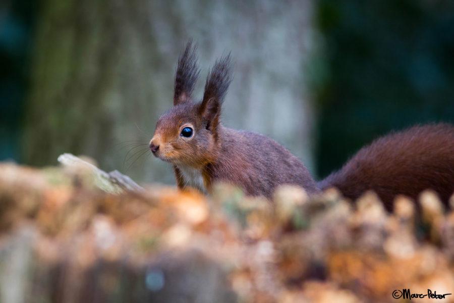 Cutest alert Squirrel