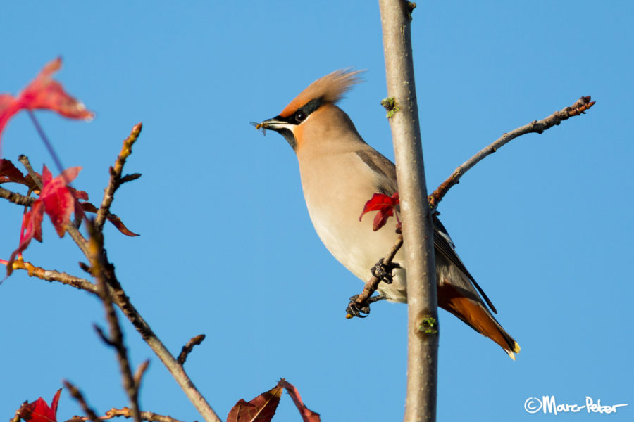 Bohemian Waxwing with unusual catch