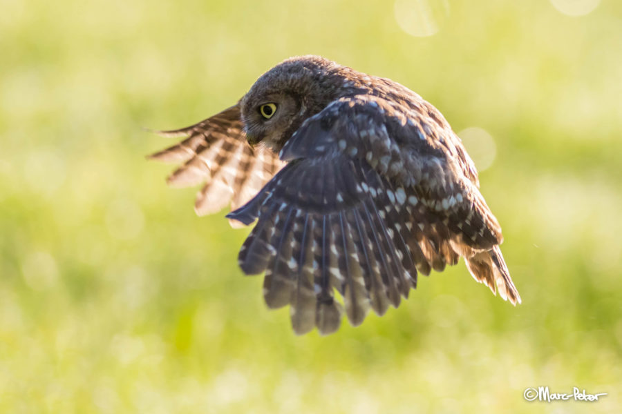 Young Little Owl in flight