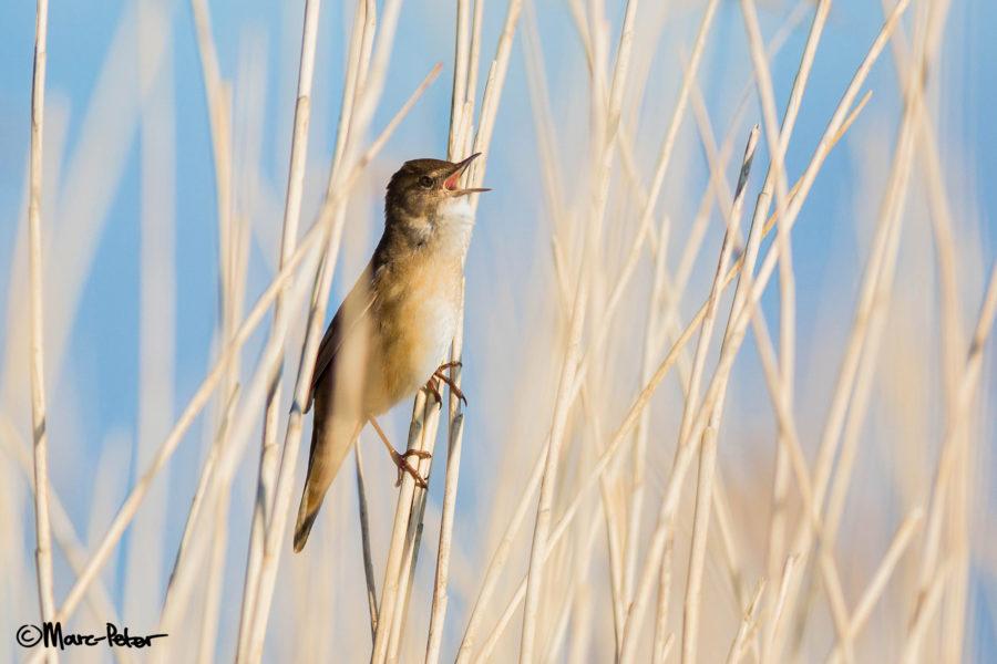 Savi's warbler singing