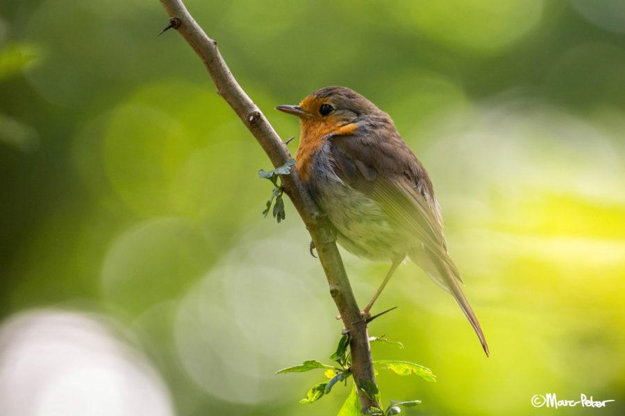 Robin in bokeh
