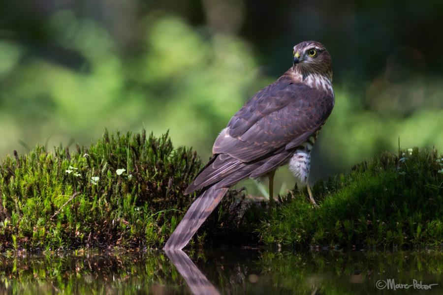 Sparrowhawk surprise