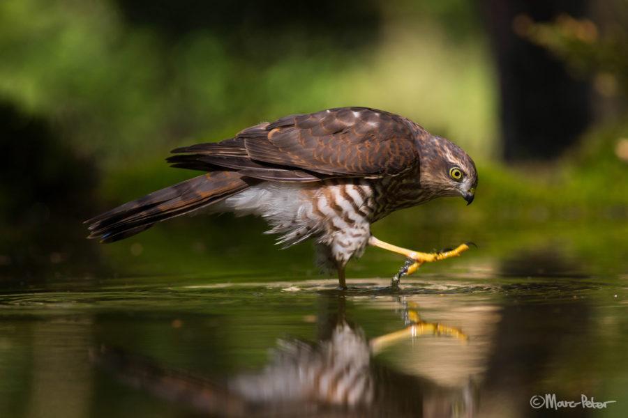 Sparrowhawk struttin