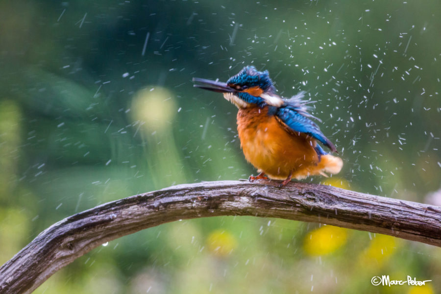 Exploding Kingfisher