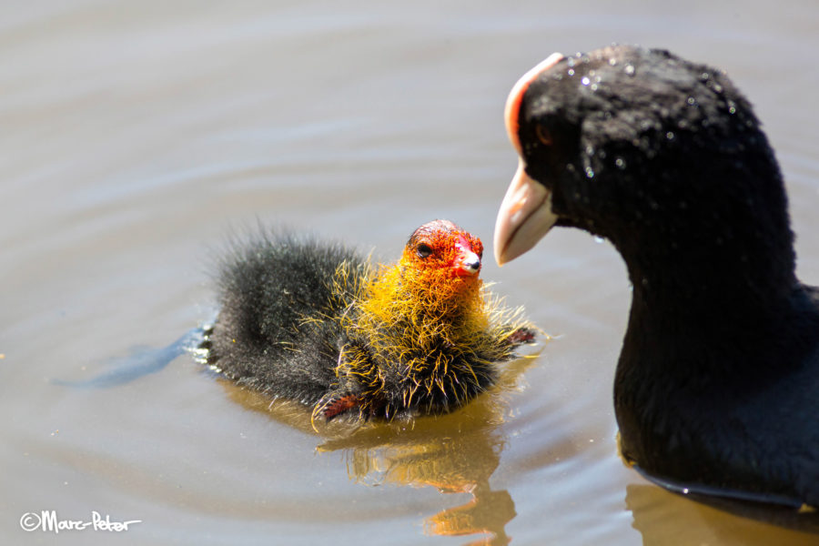 Coot feeding the ugliest chick