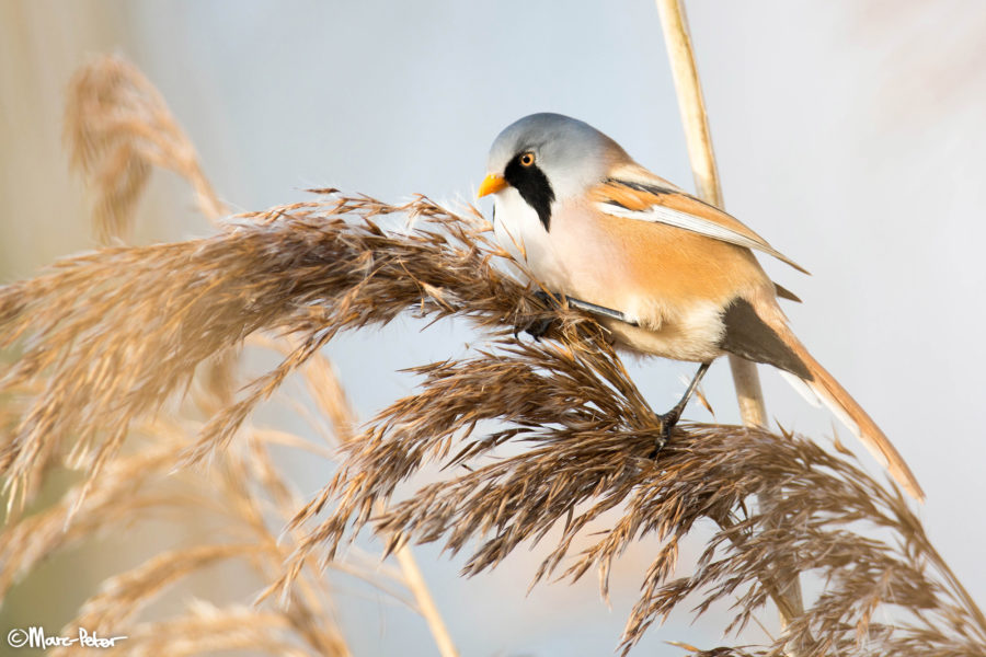 Bearded Tit boss