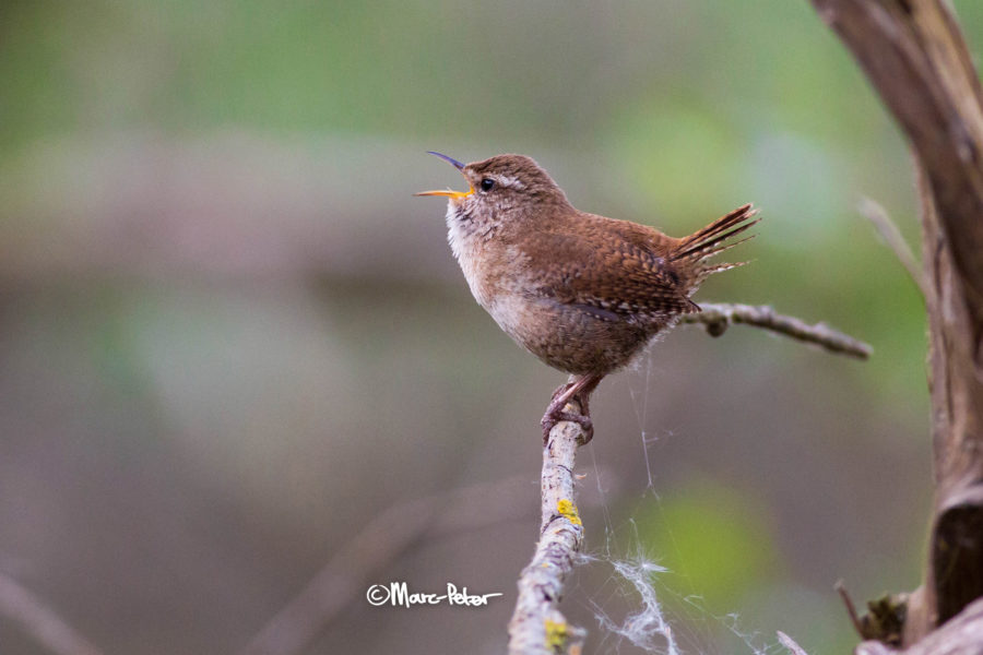 Wren lungs out