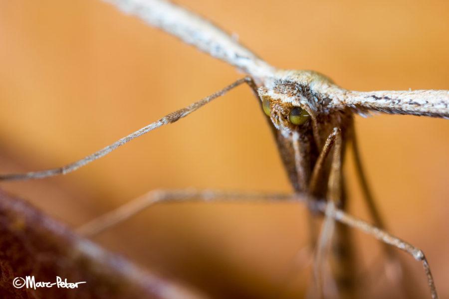 Ewok Moth