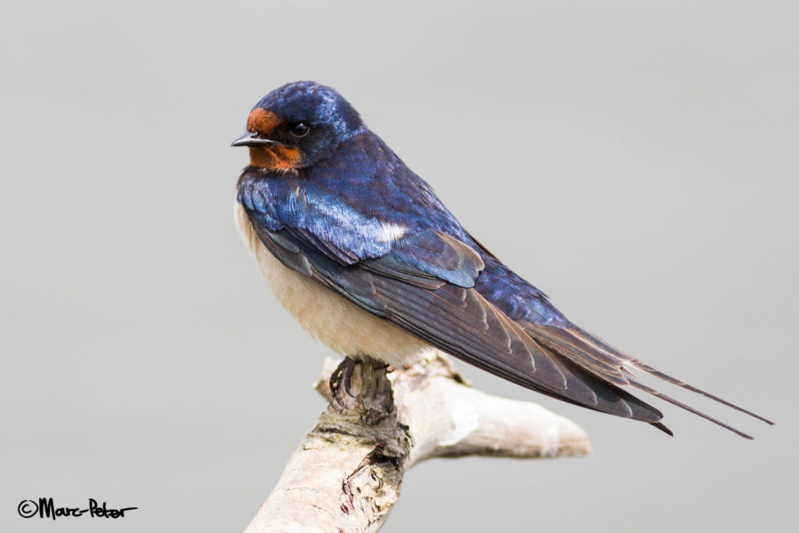 Almost perfect Barn Swallow