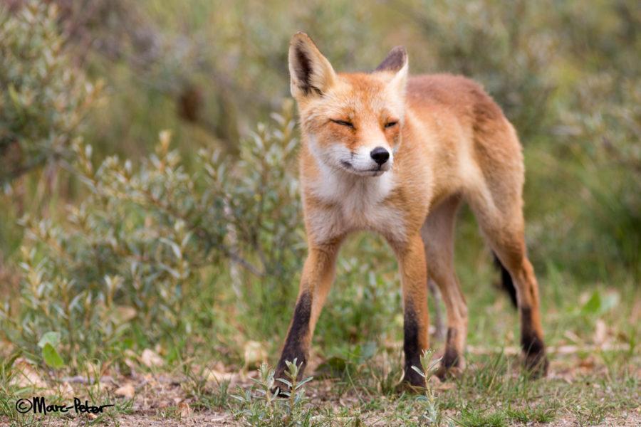 Fox Beauty in unsharpness