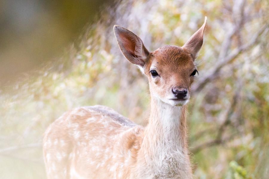 Dama Dama the Fallow Deer