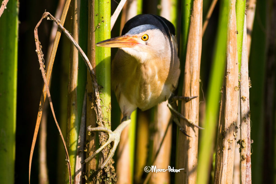 The Eye of the Little Bittern