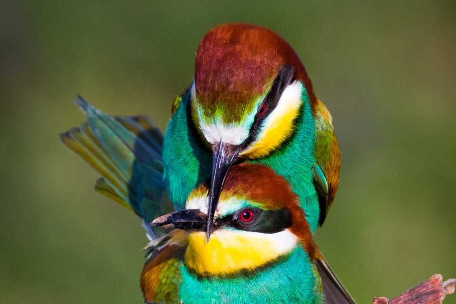 The Bee-Eater Deed