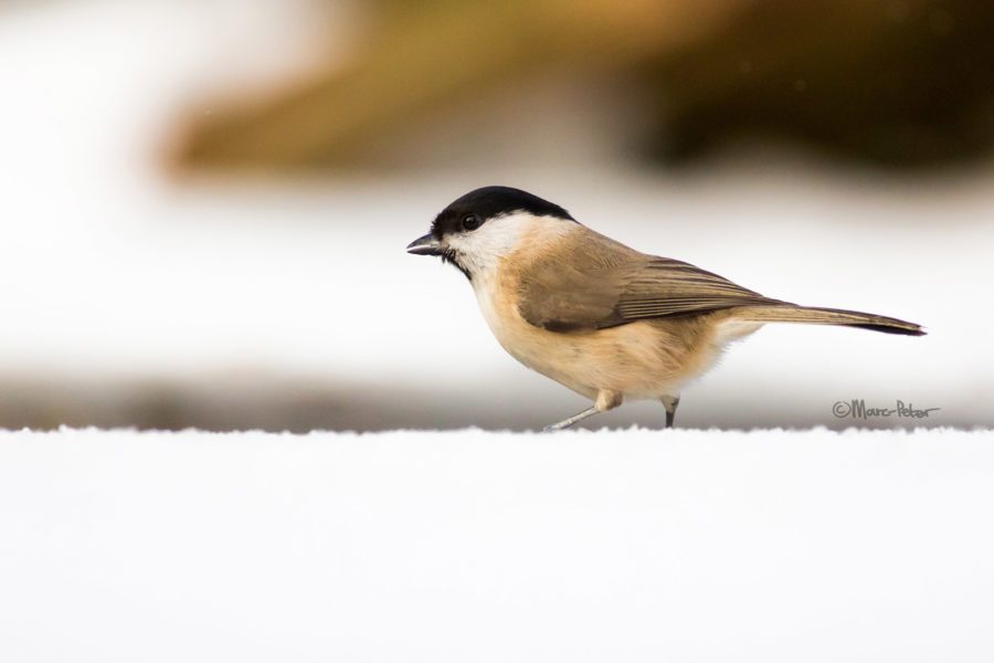 Marsh Tit in snow