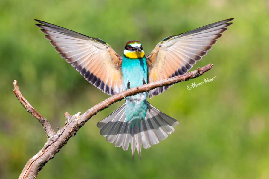 Bee-eater Perfect Arrival