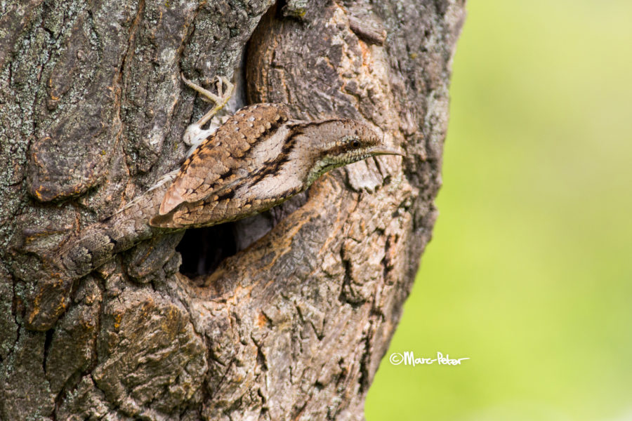 Wryneck Camouflage