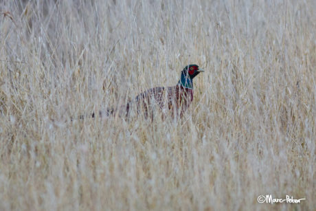 Pheasant in reed