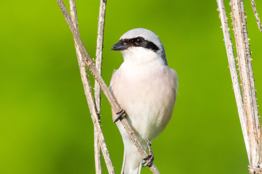 Red-backe Shrike lines
