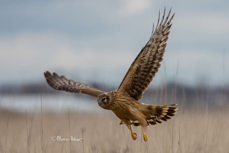 Hen Harrier young male