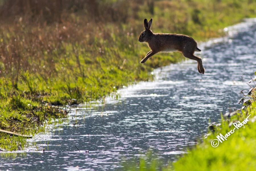 Hare in flight