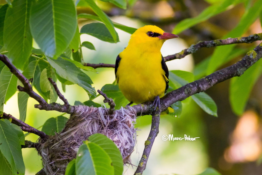 Golden Oriole at the Nest