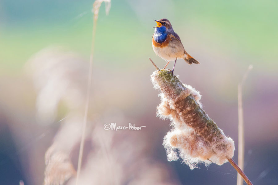 history of psychedelic Bluethroat