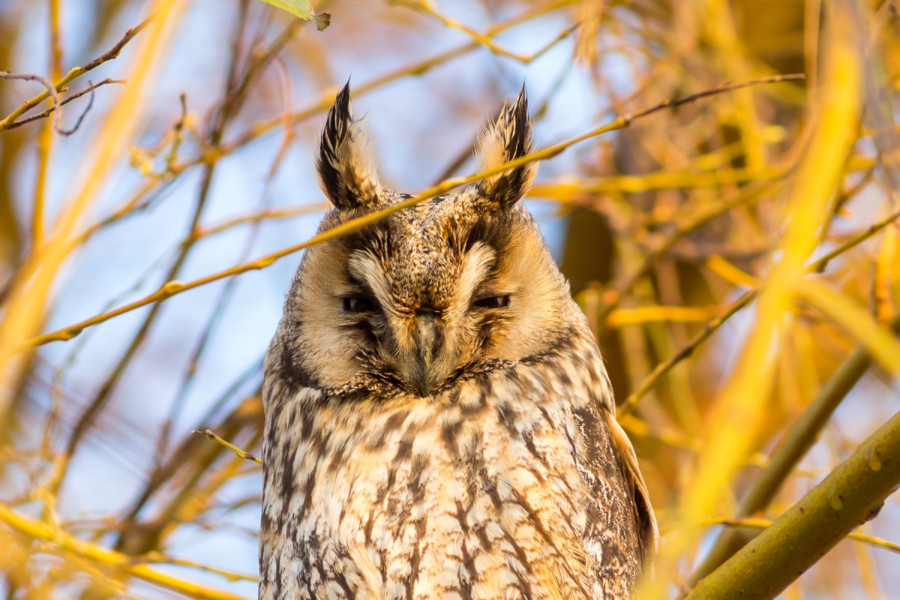 Long-Eared Owl giving zero