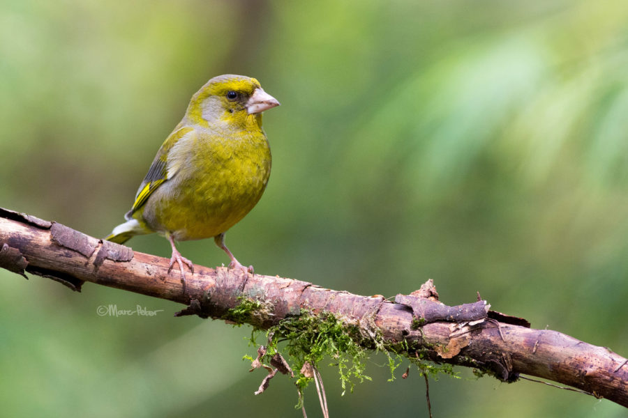Grumpy Greenfinch