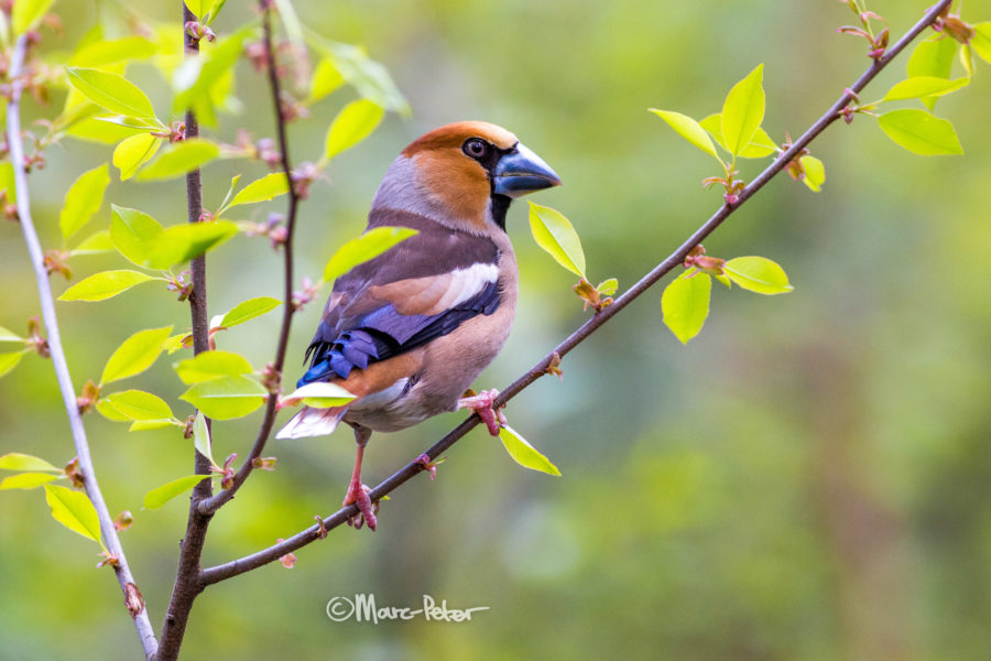 big headed Hawfinches