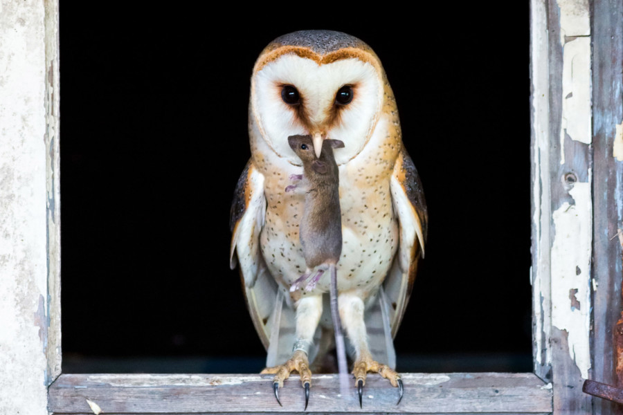 Creature of the night: Barn Owl