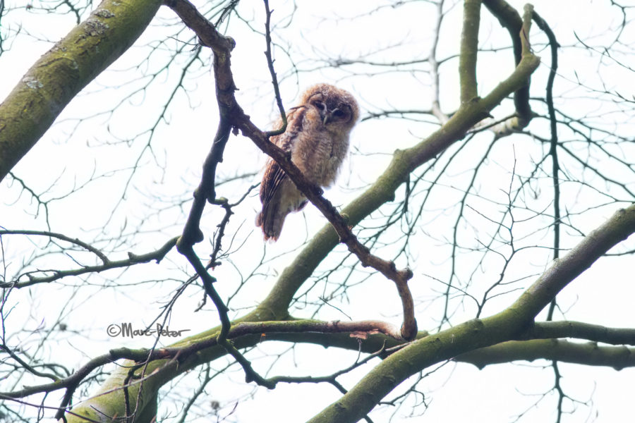 Backlit Tawny Owl Youngster