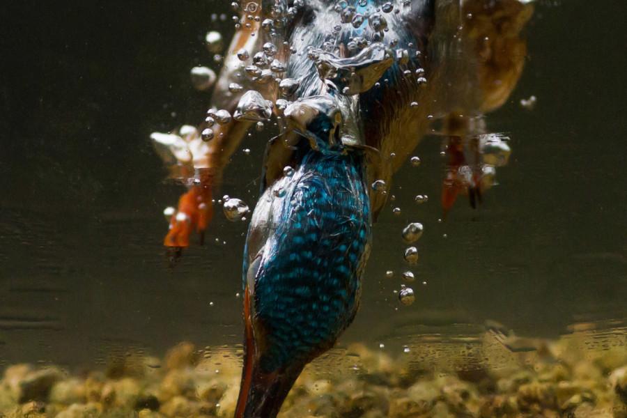Kingfisher wetsuit hardhead