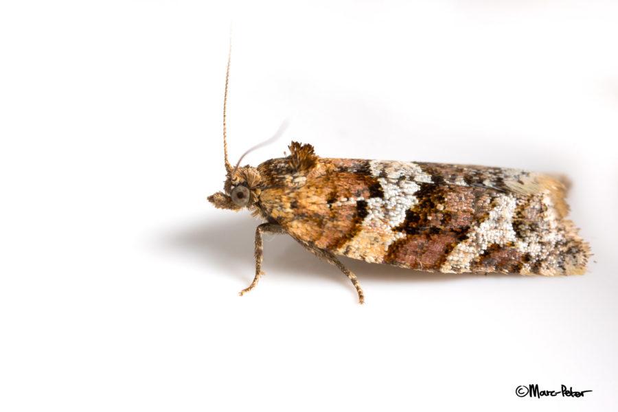 Micro Moth #1
