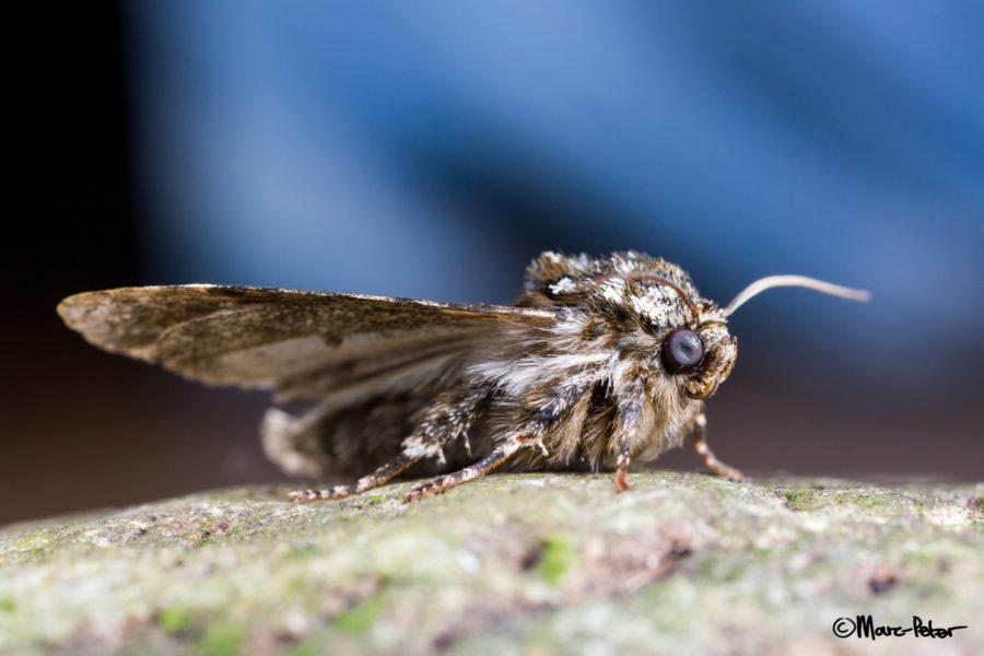 Macro Moth #3