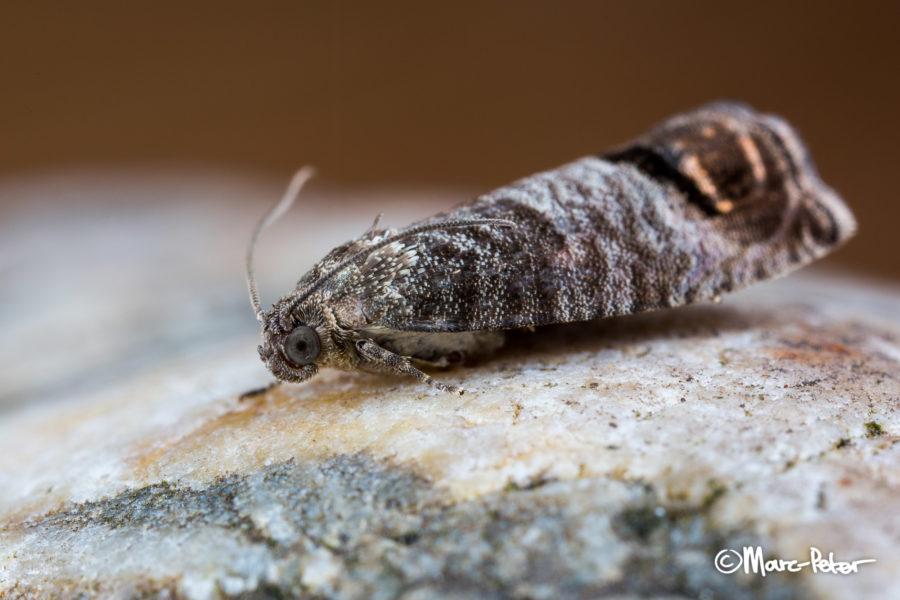 Macro Moth #7