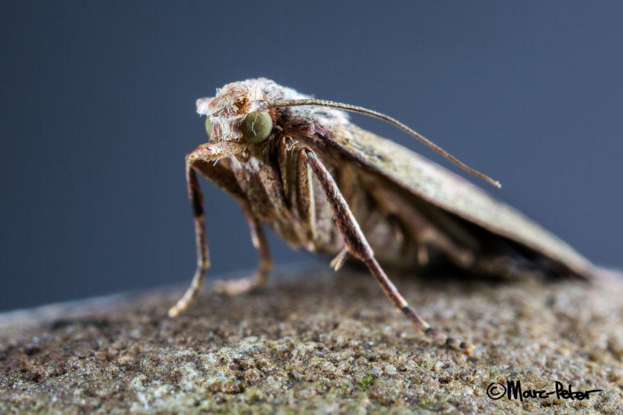 Macro Moth #8