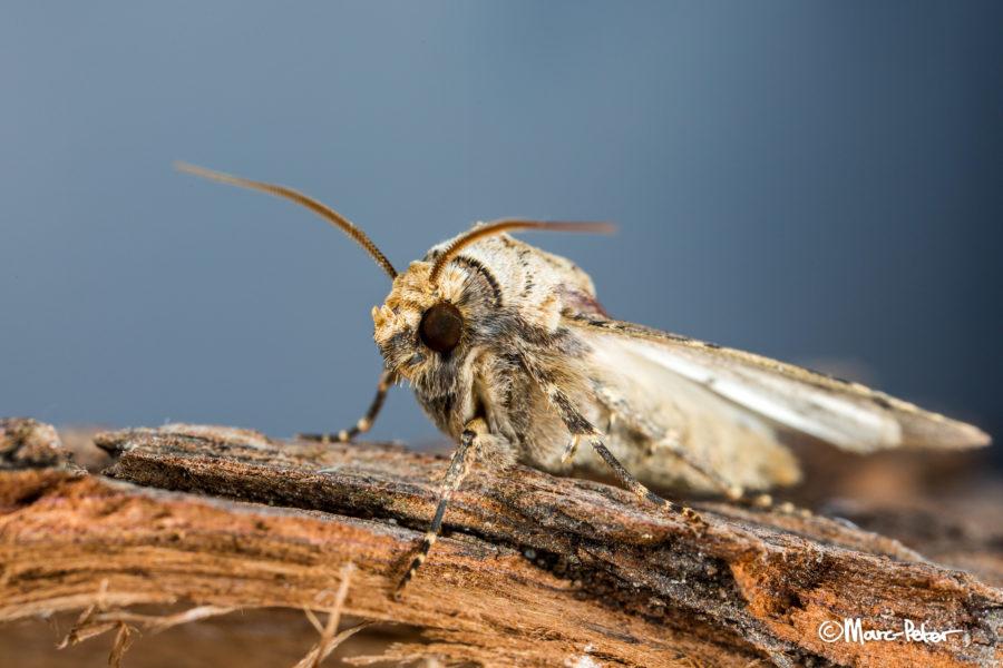 Macro Moth #9