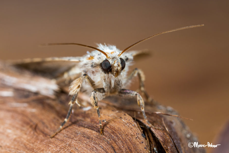 Macro Moth #1