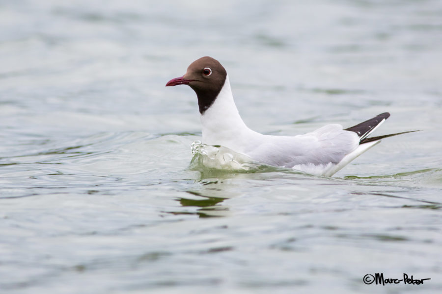 Black-headed Gull wave