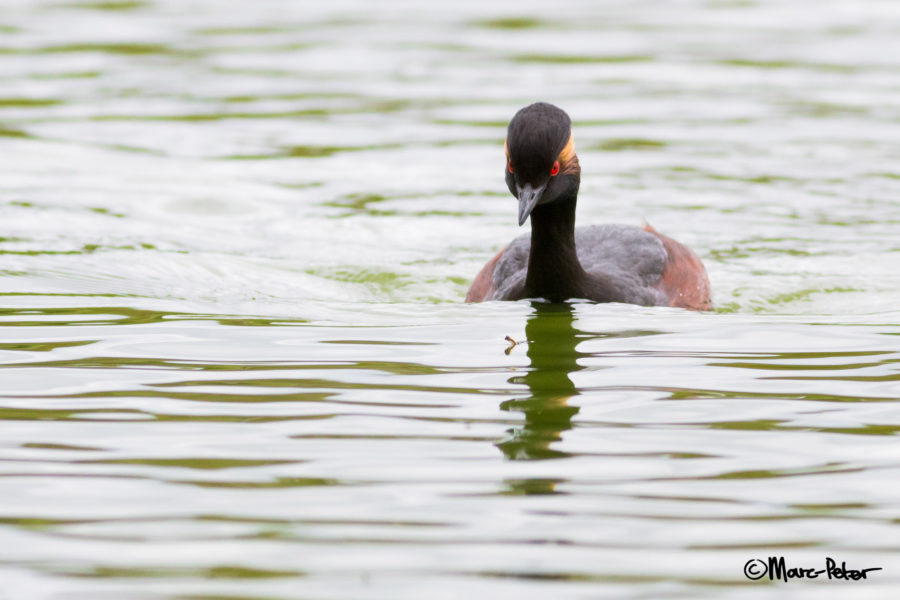 Black-necked / Eared Grebe eating bugs
